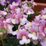 店頭のポットを春の花に植え替えました