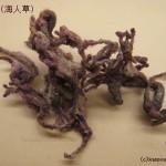 海人草と回虫駆除