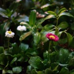 早咲きのデイジーを植えてみましたが