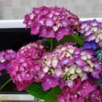 あじさいの花を飾りました
