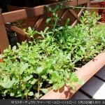 ゆうびポーチュラカを栽培