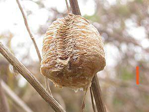 オオカマキリの卵(平塚市博物館ホームページより)