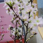 啓翁桜、1ヶ月間の変化 12月末から1月末まで