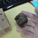 膝が痛いときの生薬:彼岸花根(ヒガンバナコン)