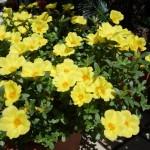今年は黄色く染めた!ポーチュラカが満開に。