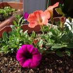 初夏への植え替え、今年はペチュニアを中心に