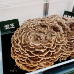 木鶏丹に使われる生薬:雲芝(うんし)