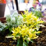 秋の花の植え替え(アリッサム)