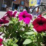 ゴールデンウイークも終わり店頭の花たちが大きくなってきました